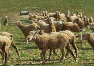 Dasberg Livestock 3